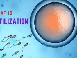 fertilization in humans